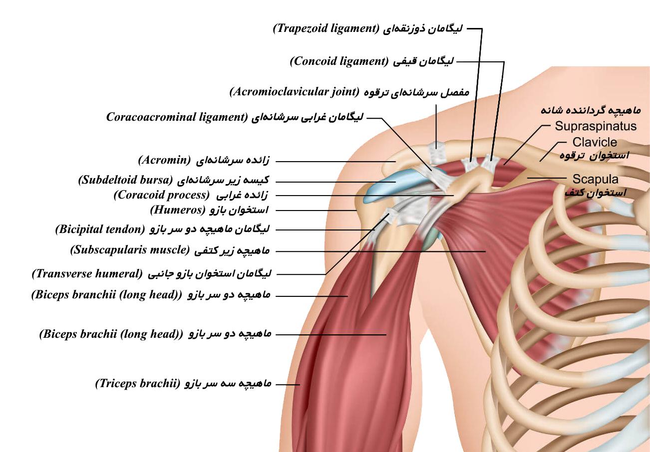 شانه درد - اجزای شانه